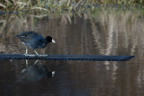 Coot Walking the Plank