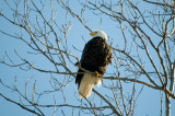 Missouri Eagles