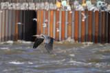 HeronFlt059.jpg