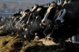 Ador Farm Cows, Barstow
