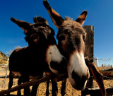 Burros at the Hackberry Store