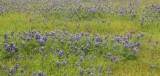 Field of Lupines, Table Mountain (Above the Town of Oroville)