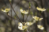 Dogwood at the Ahwahnee Hotel