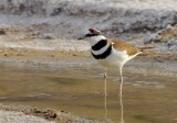 Killdeer at Salt Creek