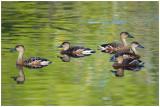 Dendrocygne à lunules - Dendrocygna arcuata - Wandering Whistling-Duck - QLD