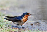 Hirondelle messagère - Hirundo neoxena - Welcome Swallow - QLD