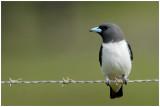 Langrayen à ventre blanc - Artamus leucorynchus - White-breasted Woodswallow - QLD