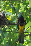 Ptilope magnifique - Ptilinopus magnificus - Wompoo Fruit-Dove - QLD