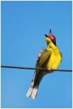 Sphécothère figuier - Sphecotheres viridis flaviventris - Green Figbird - QLD