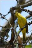 Méliphage jaune - Lichenostomus flavus - Yellow Honeyeater - QLD