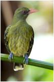 Loriot verdâtre- Oriolus flavocinctus - Green Oriole - QLD