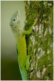 Anolis marmoratus speciosus