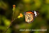 Common Tiger ªê´³½º 2101