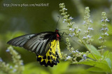 Common Birdwing - »n»ñ½º - 0041