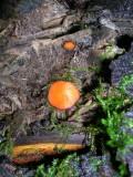 Flat Fungi