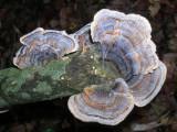 Turkey-tail Fungi