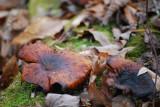 Pumpkin Fungi