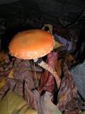 Late Fungi