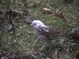 Partial Albino - White-throated Sparrow