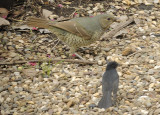 Bower Bird  eating a Bardi Grub Moth & a Willy Wagtail waiting for leftovers.