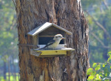 Kookaburra - not sure if the box is being inspected for nesting, it may be a little small.