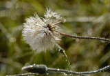 Dandelion on a dewy morning.