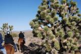 more trail and Joshua trees
