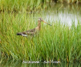 sandpipers_godwits_plovers_herons