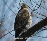 broadwing hawk wilmington.jpg
