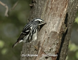 black and white warbler plum island