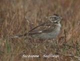 lark sparrow at hellcat plum island
