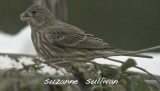 female house finch wilmington