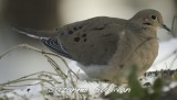 mourning dove wilmington ma