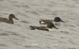 northern shovelers plum island