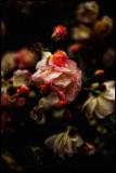 rose garden full-blown