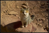 The holy cat of Petra - Jordan