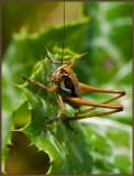 A grasshoper