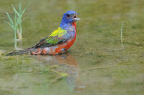 Painted Bunting 5