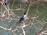 Surprise appearance by the belted kingfisher