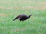 Wild Turkey in the rain