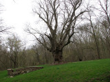 The old maple tree at Lock 26