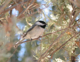 Chickadee in Spring 1