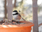 Chickadee in Spring 2