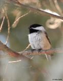Chickadee in Spring 3