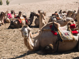 Bactrian Camels - Note two humps