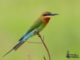 Adult Blue-tailed Bee-eater