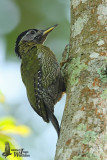 Adult female Laced Woodpecker