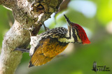 Adult male Common Flameback