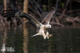Immature White-bellied Sea Eagle (probably second winter)