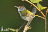 Adult male Common Tailorbird
